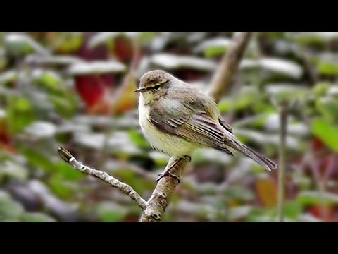 Chiffchaff Singing a Beautiful Song at Tehidy Woods in Cornwall UK