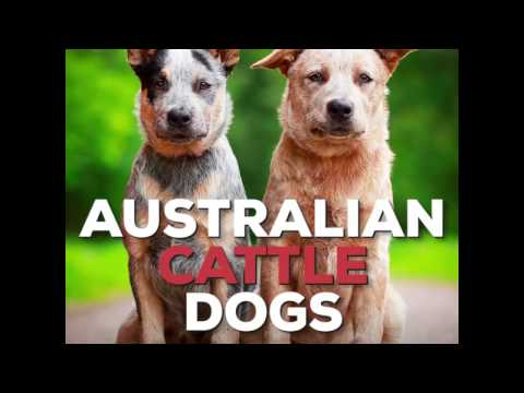 What's an Australian Cattle Dog?