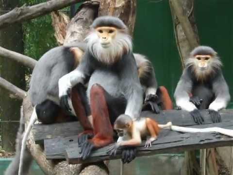 Douc Langur At Safari World Zoo Bangkok, Thailand