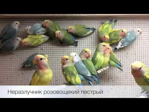 Попугаи неразлучники розовощёкие пёстрые (Agapornis roseicollis) продажа оптом