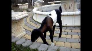 Jan-Serce 3 | www.koziebrody.com.pl | koza anglonubijska