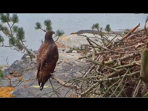 Smola Norway Eagles Nest Cam ~ Solo's Beautiful Visit; Closeups & SLO MO 8.15.17