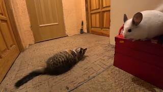 Kitten vs Chinchilla. Home pets. Video