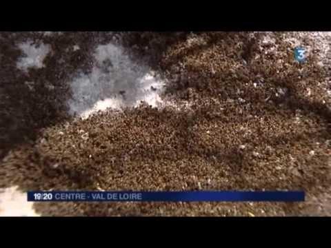 invasion de fourmis meusnes loir et cher youtube. Black Bedroom Furniture Sets. Home Design Ideas
