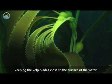 Underwater Kelp Forests