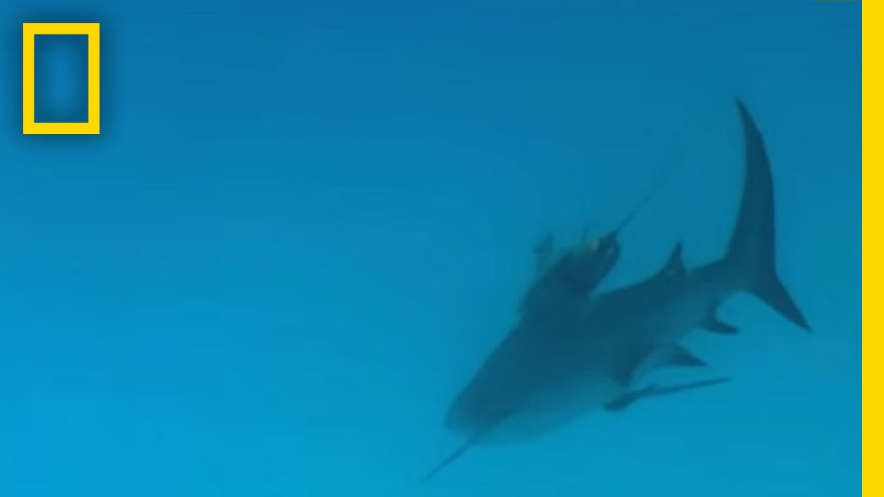 Bull Sharks | National Geographic