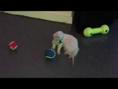 Puppy the Ferret is Blind Now:  This is her game
