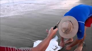 A Manta Ray Surf Fishing Accidental Hook