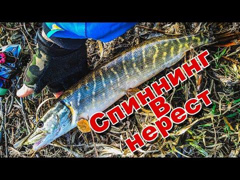 Ловля окуня и щуки ранней весной | Рыбалка на Дону в нерест | Спиннинг перед карантином
