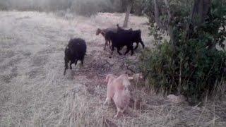 Adıyaman'da Keçiler İle Köpeğin Kıskandıran Dostluğu