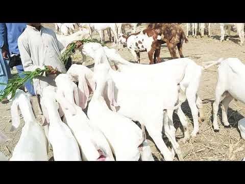 Date(16)10 2019 Rajanpur Gulabi Bakriyan For Sale Hain Goat Farming Ke Liye My Channel Like And Subs