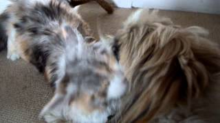 Maine Coon Kitten & Shih-tzu Love-in