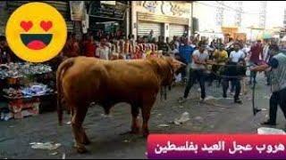 هروب عجل في شوراع مدينة غزة وأكثر من 200 شخص بيجروا وراه في الشارع عيد الأضحى 2021