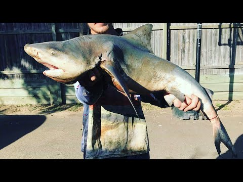 Brisbane River Bull Shark Fishing