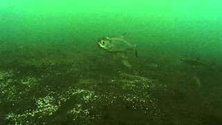Рыбалка ловля ельца р.Н. Тунгуска подводная съёмка в реальном времени .