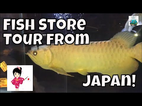 Fish Store Tour Japan Japanese Fish Store Tour Aqua Shop Shinano Arowana Plecos and More