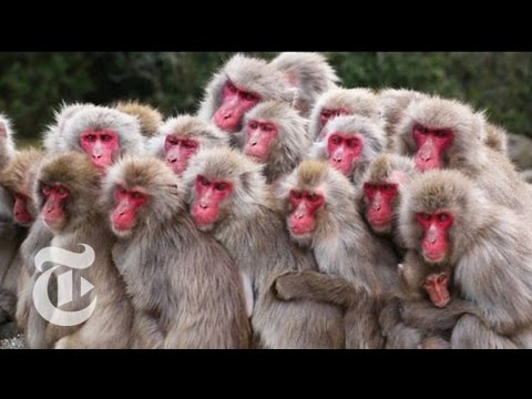 Japanese Monkeys Itch to Be Popular   ScienceTake   The New York Times