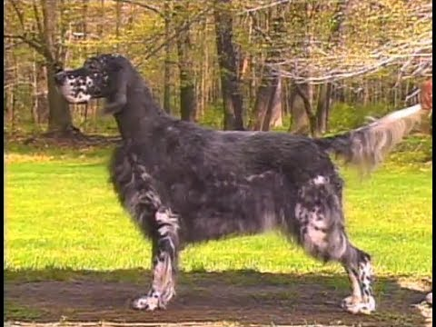 English Setter - Setter Inglés - イングリッシュ・セター - AKC Dog breed series