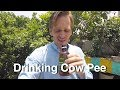 Drinking Cow Pee in India 🐮💦