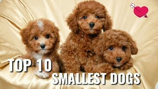 Smallest dog living In the World