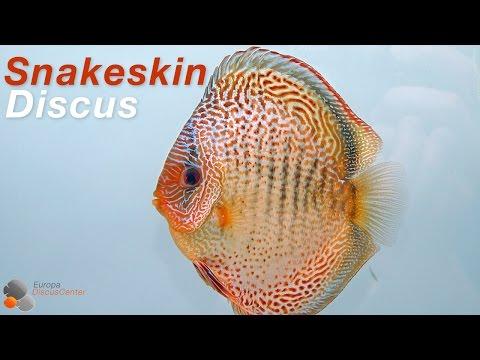Snakeskin Discus Pair