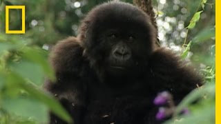 Apes with Tools | National Geographic