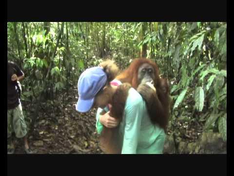Sumatran Orangutan Birthday Hug.wmv