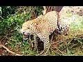 तार में फांसी तेंदुए की जिंदगी | वन विभाग का रेस्क्यू Leopard Rescue from trapped in wire
