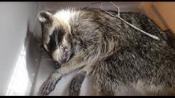 Rabid Raccoon Removal