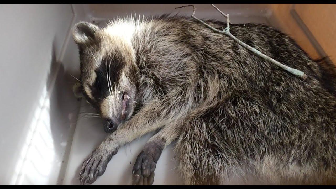 Rabid Raccoon Removal - YouTube Raccoon With Rabies