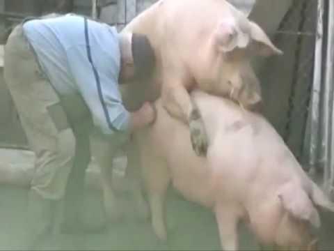 Как свиньи трахаются фото 734-947