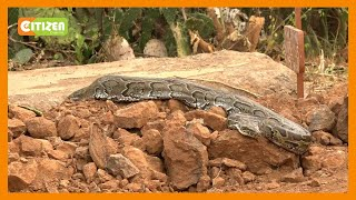 Residents of Baringo shocked as python appears after the burial of a snake charmer