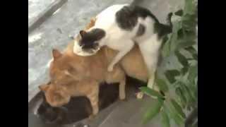 Смешные видеоролики Груповое спаривание котов Отпад