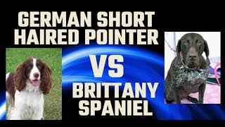German short haired pointer vs Britanny Spaniel