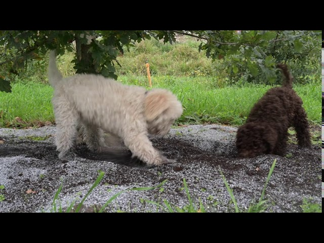 Lagotto Romagnolo: From birth, The Itallian Truffle Dog