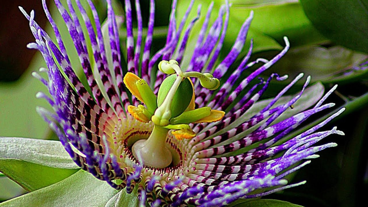 Passion Fruit Flowers Youtube