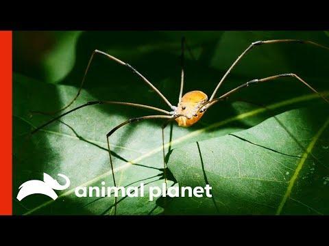 Is This An Arachnophobe's Worst Nightmare?! | Weird, True & Freaky