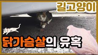길고양이 친해지기! 고양이에게 닭가슴살 간식을 주었을때…