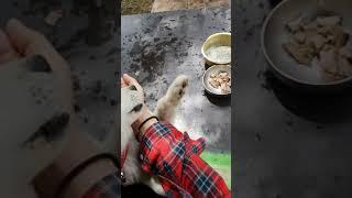활발한 백구 ~ 새끼 강아지 심쿵  아기 진돗개