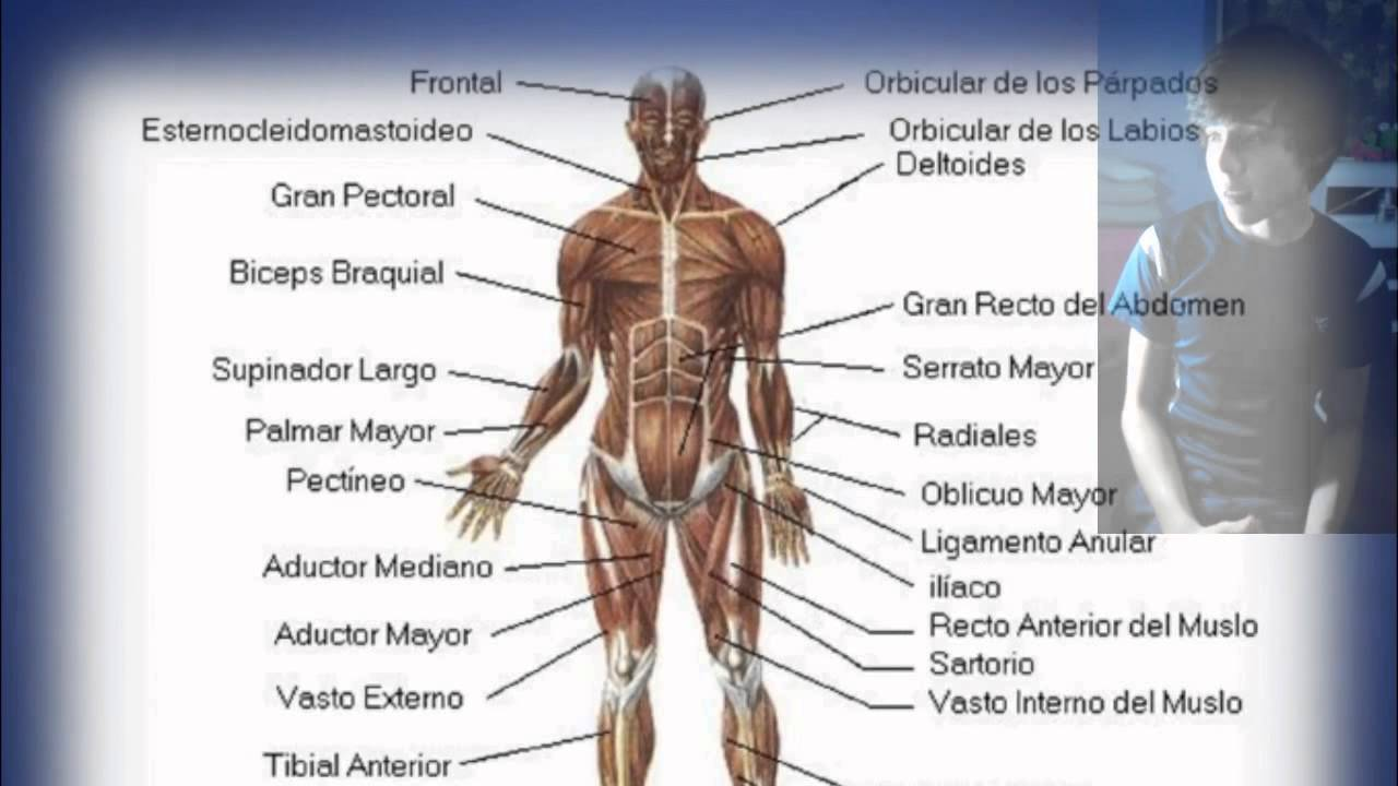 Exposicion Sistema muscular - YouTube
