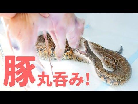 ペットのニシキヘビに巨大な豚を食べさせてみた結果・・・