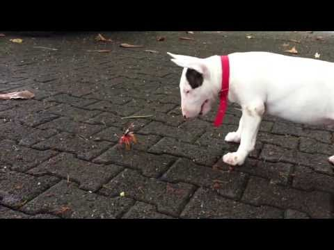 Bull terrier and a crab dog