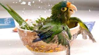 Забавные попугаи - это Смешные попугаи! Видео Подборка!(Забавные попугаи могут быть такие милые. Посмотрите это забавное видео попугаев. Некоторые забавные попуга..., 2016-04-30T18:23:51.000Z)