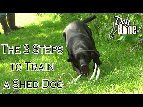 Training A Shed Hunting Dog In 3 Simple Steps