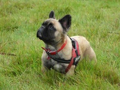 Matilda - French Bulldog - 2 Weeks Residential Dog Training
