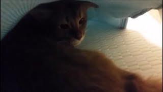 敷布団とシーツの間に入りたがる茶色猫(最後はホラー風) thumbnail