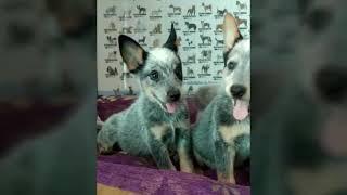 Bluheeler en cachorros y mas cachorros