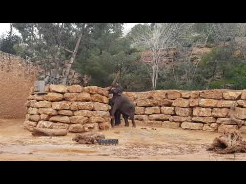 Asiatic elephant enrichment