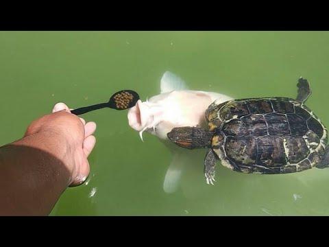 Spoon Feeding Fish And Turtles