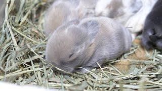 動画初出しレアカラー!?すやすや眠る4つ子の赤ちゃんうさぎ【ホーランドロップ】